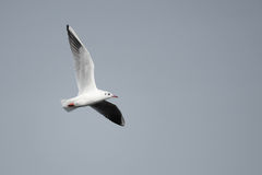 Sea gull. A sea gull flies in the sky. Scientific name: Larus ridibundus royalty free stock photo