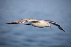 Sea gull in flight Royalty Free Stock Images