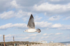 Sea Gull in Flight Royalty Free Stock Photo