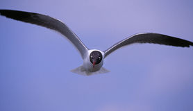 Sea gull in flight Stock Image