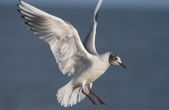 Sea gull flight Stock Photography