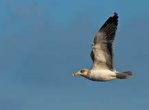 Sea Gull in flight Stock Image