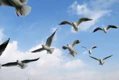 Sea gull flight Royalty Free Stock Images