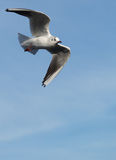 Sea gull in flight Royalty Free Stock Photos
