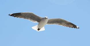 Sea Gull in Flight. Picture of a Sea Gull hovering in the air royalty free stock photo