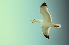 Sea gull in flight on a blue sky Royalty Free Stock Photo