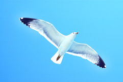 Sea gull in flight on a blue sky Royalty Free Stock Images