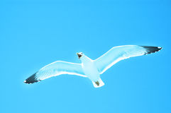 Sea gull in flight on a blue sky Stock Image
