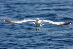 Sea gull in flight Royalty Free Stock Photos