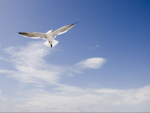 Sea Gull in Flight with Clouds Royalty Free Stock Photography