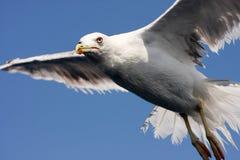 Sea gull in flight Stock Photos