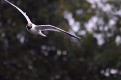 Sea Gull in flight. Flying Sea Gull in the rain Stock Image
