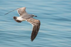 Sea gull in flight Stock Photo