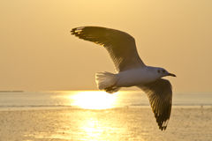 Sea gull fly in evening Royalty Free Stock Photos