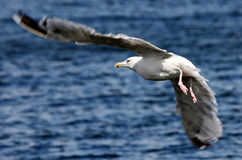 Sea-gull Flying Royalty Free Stock Photos