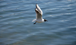 Free Sea Gull Flying Royalty Free Stock Image - 50991516