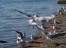 Free Sea Gull Flying Stock Image - 50992961
