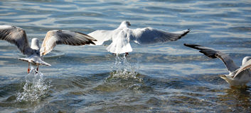 Free Sea Gull Flying Stock Photography - 50992992