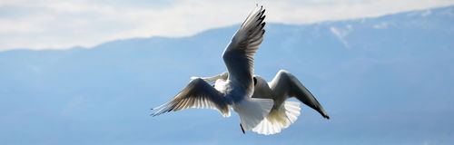 Free Sea Gull Flying Stock Photo - 50995210