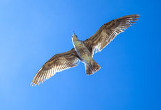 Sea gull flying in the blue sky Royalty Free Stock Photos