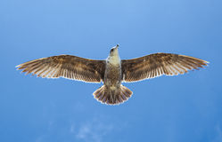 Sea gull flying in the blue sky Stock Images