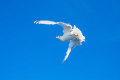 Sea gull. Royalty Free Stock Photography