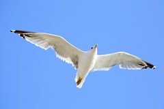 Sea gull flying. In the blue sky Stock Image