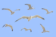 Sea gull flying. In the blue sky Royalty Free Stock Photo