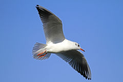 Sea gull. Flying sea gull with blue sky Royalty Free Stock Image