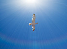 Sea gull flying Stock Images