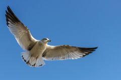 Sea gull Stock Image