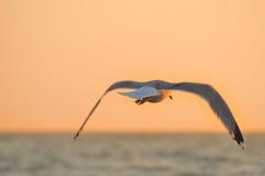 Sea gull flying Royalty Free Stock Photos