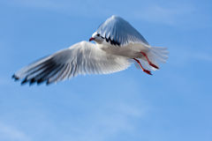 Sea gull flying high in sky. Sea gull flying high in the sky Royalty Free Stock Photos