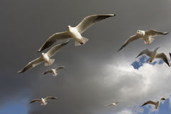 Sea-gull flying  in Hyde Park. Royalty Free Stock Photo
