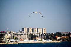 Sea gull flying near Zadar Stock Images