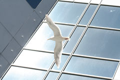 Sea gull flying outside of a office building Stock Image