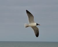 Sea Gull Stock Images