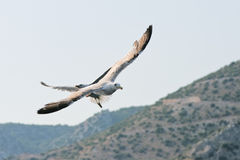 Sea gull flying over the rocks Royalty Free Stock Photography
