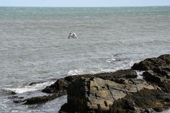 Sea Gull over the Rocky Coast of Rhode Island Stock Photo
