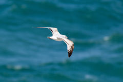 Sea Gull flying over the sea close to the shore. Royalty Free Stock Image