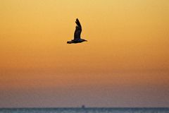 Sea gull flying over the Sea Royalty Free Stock Images