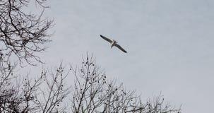 Sea Gull Flying Stock Photo