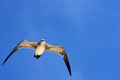 Sea gull flying the sky in mexico Royalty Free Stock Images