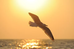Sea gull flying to the sun Royalty Free Stock Images
