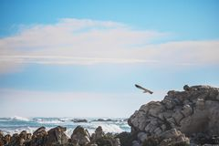 Sea gull in the foreground, focusing on the rock and waves in the background. royalty free stock image