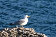 Sea-gull. Sea sea-gull freedom fly animal birds beauty moment sky stone Stock Image