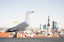 Sea gull in front of city panorama of Tallinn, Est stock image
