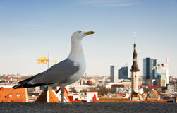 Sea gull in front of city panorama royalty free stock images
