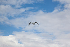 Sea gull in front of cloudy sky Stock Photo