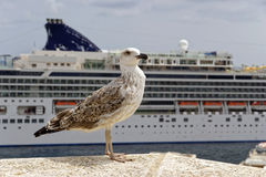 Sea gull  in front of cruise ships Stock Image